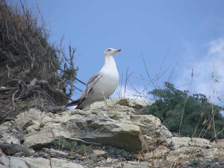 Чайка на геленджикской круче в Чёрном море